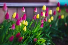 Blühender wachsender naher Zaun der Tulpen des Rosas und des Gelbs nicht schon Lizenzfreie Stockbilder