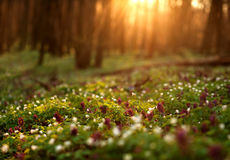 Blühender Wald auf Sonnenuntergang, Frühlingsnaturhintergrund Lizenzfreies Stockbild