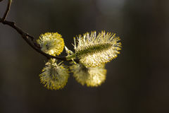 Blühender Wald der Weide im Frühjahr Stockfotografie