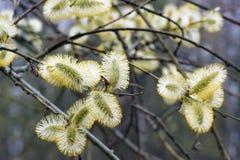 Blühender Wald der Weide im Frühjahr Lizenzfreie Stockfotos