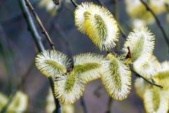 Blühender Wald der Weide im Frühjahr Stockfoto