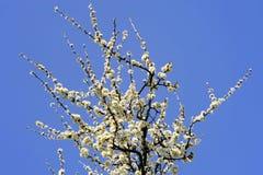 Blühender Weißdorn Lizenzfreies Stockbild