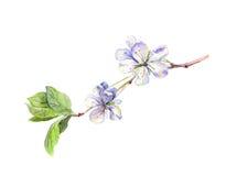 Blühender weißer Kirschbaum blüht, Japaner Kirschblüte, Aquarell Lizenzfreie Abbildung