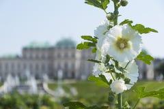 Blühender weißer Malva stockbild
