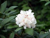 Blühender weißer Rhododendron Stockfotos