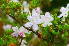 Blühender weißer Rhododendron (Azalee) Afer regnen Lizenzfreie Stockfotografie