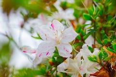 Blühender weißer Rhododendron (Azalee) Afer regnen Stockfotos