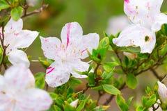 Blühender weißer Rhododendron (Azalee) Afer regnen Stockbilder