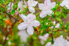 Blühender weißer Rhododendron (Azalee) Afer regnen Lizenzfreies Stockfoto
