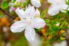 Blühender weißer Rhododendron (Azalee) Afer regnen Lizenzfreies Stockbild