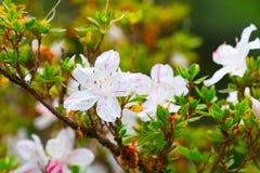Blühender weißer Rhododendron (Azalee) Afer regnen Stockbild