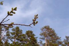 Blühender Weidenabschluß oben Lizenzfreies Stockbild