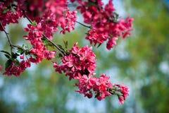 Blühender wilder Apfel Lizenzfreies Stockbild