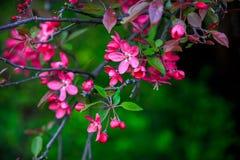 Blühender wilder Apfel Stockbild