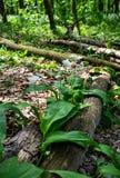 Blühender wilder Knoblauch im Wald auf einem Klotz Stockfoto