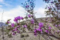 Blühender wilder Rosmarin gegen den Himmel und den Abhang, Altai, Russland stockfotos