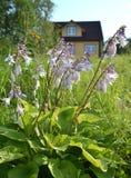 Blühender Wirt des gelben Haushintergrundes im Garten Lizenzfreies Stockbild