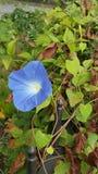 Blühender Zaunposten der blauen Blume stockfoto
