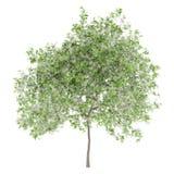 Blühender Zitronenbaum lokalisiert auf Weiß Stockfoto
