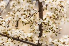 Blühender Zweig der Kirsche Lizenzfreies Stockbild