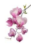 Blühender Zweig der Magnolie Stockfotos