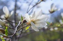 Blühender Zweig der Magnolie mit großen Blumen und den Knospen Stockfotos