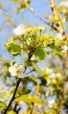 Blühender Zweig des Apfelbaums Stockfoto