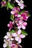 Blühender Zweig des Apfelbaums auf einem schwarzen Hintergrund lokalisiert lizenzfreie stockfotos