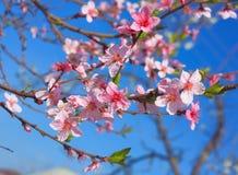 Blühender Zweig des Apfels Stockfotos