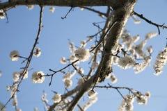 Blühender Zweig des Baums Stockfoto