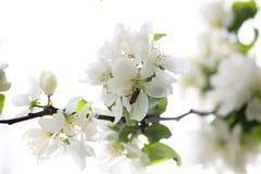 Blühender Zweig des Baums Lizenzfreie Stockbilder
