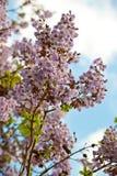 Blühender Zweig des Baums Paulownia. Lizenzfreie Stockfotografie