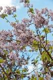 Blühender Zweig des Baums Paulownia. Lizenzfreie Stockbilder