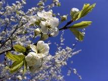 Blühender Zweig des Kirschbaums Lizenzfreies Stockfoto