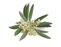 Blühender Zweig eines Olivenbaums stockfotos
