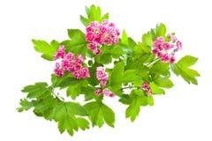 Blühender Zweig von Crataegus Stockfoto