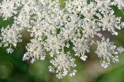 Blühendes achillea millefolium Lizenzfreie Stockfotos