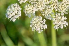 Blühendes achillea millefolium Lizenzfreies Stockfoto