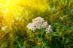 Blühendes Achillea-millefolium der Schafgarbe Stockbild