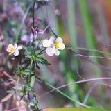Blühendes Acker-Stiefmütterchen Stockfotos