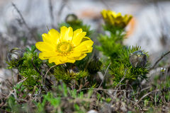 Blühendes Adonisröschen (Adonis-vernalis) Stockfotos