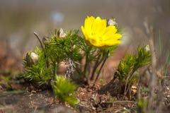 Blühendes Adonisröschen (Adonis-vernalis) Stockfotografie