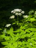 Blühendes Aegopodium-podagraria oder Bischof ` s säubern Nahaufnahme, selektiven Fokus, flacher DOF Lizenzfreie Stockfotografie