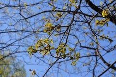 Blühendes Ahorn Acer-negundo gegen blauen Himmel Frühling in der Stadt Stockbild