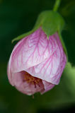 Blühendes Ahornholz (Abutilon) Stockfoto