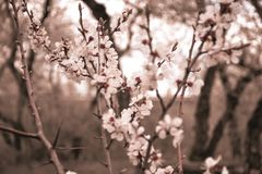 Blühendes Aprikose Frühlings-April Country-Haus blüht für Garten stockbild
