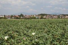 Blühendes Baumwollfeld mit dem Dorf Nea Pella und Berg Lizenzfreie Stockfotos
