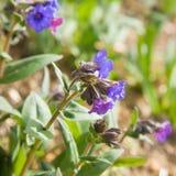 Blühendes blaues lungwort Stockbilder