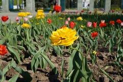 Blühendes Blumenbeet im Vorfrühling Lizenzfreie Stockfotos