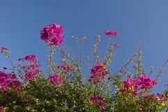 Blühendes Bouganvilla auf einem Hintergrund des blauen Himmels Stockfoto